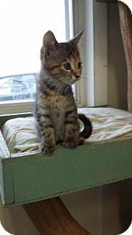 Calico Kitten for adoption in Maquoketa, Iowa - Cuddles