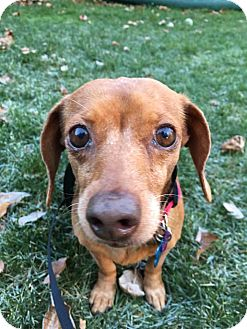 Dachshund Dog for adoption in Harmony, Glocester, Rhode Island - Muffie