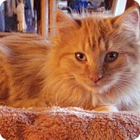 Adopt A Pet :: Angus - Fort Collins, CO