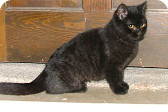 American Shorthair Kitten for adoption in Chattanooga, Tennessee - Blackberry