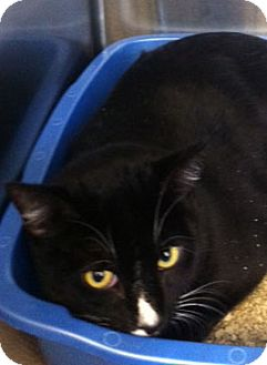 Domestic Shorthair Cat for adoption in Secaucus, New Jersey - Inky