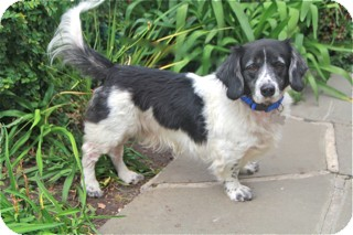 Basset Hound/English Springer Spaniel Mix Dog for adoption in Norwalk, Connecticut - Aberdeen