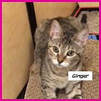 Adopt A Pet :: Ginger - Miami, FL