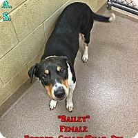 Adopt A Pet :: 1-10 Bailey - Triadelphia, WV