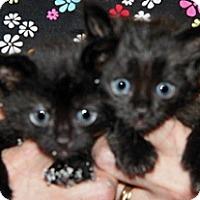 Domestic Shorthair Kitten for adoption in Wildomar, California - 314277