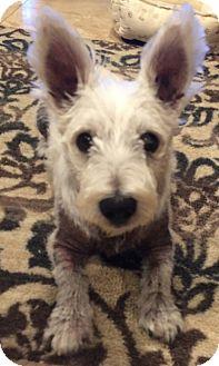 Westie, West Highland White Terrier Dog for adoption in Frisco, Texas - ZUZU-ADOPTION PENDING