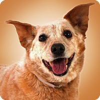 Adopt A Pet :: Ben - Prescott, AZ