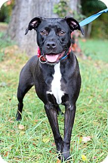 Pit Bull Terrier Mix Dog for adoption in Waldorf, Maryland - Leo