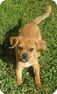 Pug/Beagle Mix Puppy for adoption in Alpharetta, Georgia - Jelly