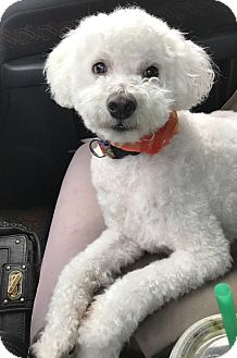 Poodle (Miniature) Mix Dog for adoption in Los Angeles, California - MAXX