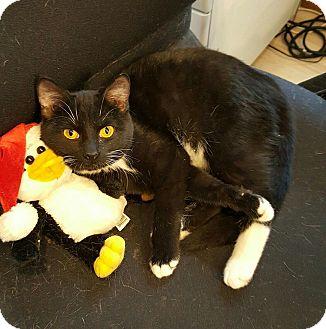 Domestic Shorthair Kitten for adoption in Hanna City, Illinois - Ajax-adoption pending