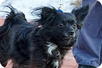Papillon/Chihuahua Mix Dog for adoption in Scituate, Massachusetts - Gizzy