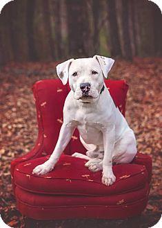 American Bulldog/Labrador Retriever Mix Dog for adoption in Atlanta, Georgia - Scout