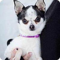 Adopt A Pet :: Bella - Valparaiso, IN