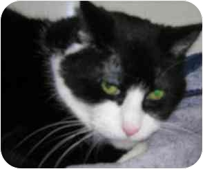 Domestic Shorthair Cat for adoption in Windsor, Ontario - Minnie