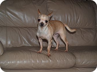Chihuahua Dog for adoption in Toronto/Etobicoke/GTA, Ontario - Rosa - tiny!