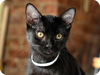 Bombay Kitten for adoption in Brooklyn, New York - Tay and Taz