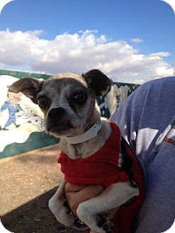 Pug/Chihuahua Mix Dog for adoption in scottsdale, Arizona - Elinor Rigby