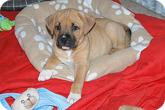 Boxer Mix Puppy for adoption in Minneola, Florida - Aiden