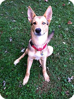 German Shepherd Dog Mix Dog for adoption in Brattleboro, Vermont - Schatzi