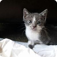 Adopt A Pet :: Sashimi - Ft. Lauderdale, FL