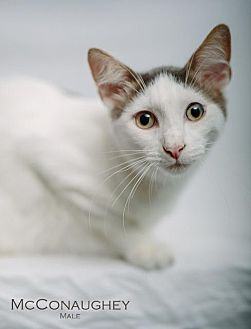 Domestic Shorthair Cat for adoption in St. Louis, Missouri - McConaughey (Courtesy Post)