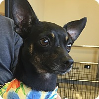 Adopt A Pet :: Raven - Tavares, FL