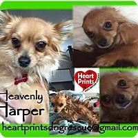 Chihuahua Mix Dog for adoption in Leduc, Alberta - Harper