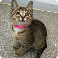 Domestic Shorthair Kitten for adoption in Montello, Wisconsin - Cleo