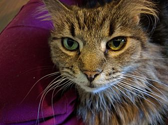Domestic Longhair Cat for adoption in Walnut Creek, California - Lily