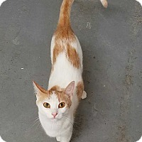 Domestic Shorthair Cat for adoption in Acworth, Georgia - Ginger