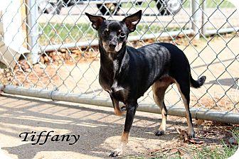 Chihuahua/Dachshund Mix Dog for adoption in Texarkana, Arkansas - Tiffany