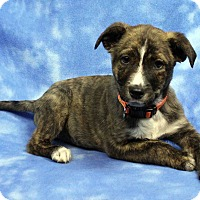 Adopt A Pet :: LAYCEE - Westminster, CO
