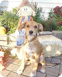 Retriever (Unknown Type) Mix Puppy for adoption in West Chicago, Illinois - Tuscani