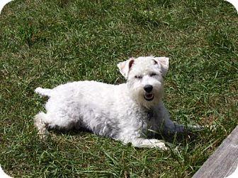 Poodle (Miniature)/Standard Schnauzer Mix Dog for adoption in Toronto, Ontario - Ben 3163