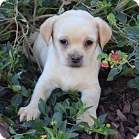Tibetan Spaniel Mix Puppy for adoption in Corona, California - Claus: Jingle
