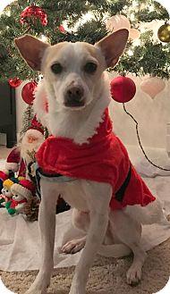Chihuahua/Miniature Pinscher Mix Dog for adoption in Holliston, Massachusetts - Smiley