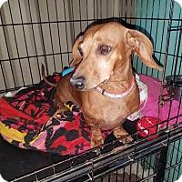 Adopt A Pet :: MAXX - Lubbock, TX