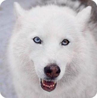 Siberian Husky Dog for adoption in Jupiter, Florida - Desna