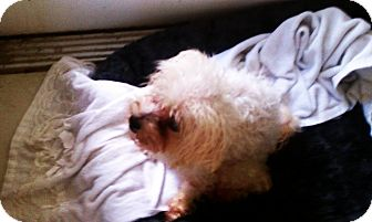 Maltese Dog for adoption in Clermont, Florida - Mattie