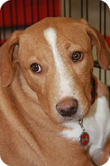 Labrador Retriever Mix Puppy for adoption in Phoenix, Arizona - Dixie