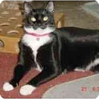 Domestic Shorthair Cat for adoption in Pasadena, California - Sasha
