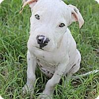 Adopt A Pet :: Bones - Mesa, AZ