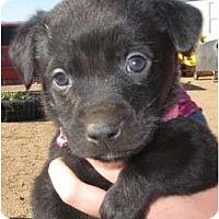 Adopt A Pet :: Pearl - Golden Valley, AZ