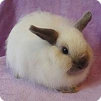 Adopt A Pet :: Powder Puff - Los Angeles, CA