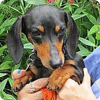 Adopt A Pet :: TAFFY - Portland, OR