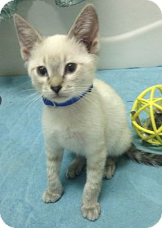 Siamese Kitten for adoption in San Ysidro, California - Snap