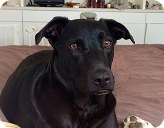 Labrador Retriever Dog for adoption in Crocker, Missouri - Rita