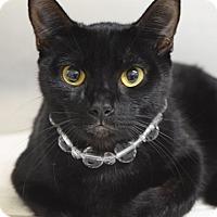 Adopt A Pet :: Cleopatra - Dublin, CA