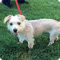 Terrier (Unknown Type, Small)/Poodle (Miniature) Mix Dog for adoption in Nanuet, New York - Pikachu